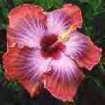 amapolaflower-yellow.jpg